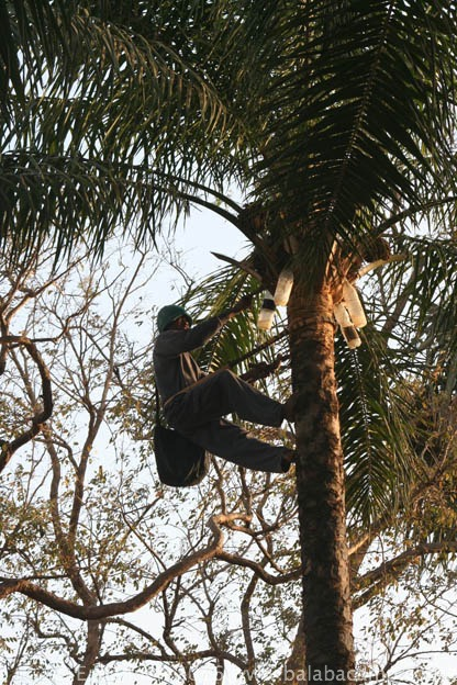 Tapping palm wine in the traditional way