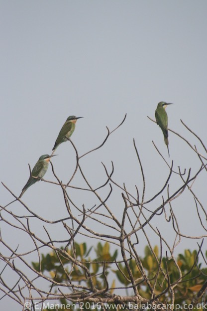 Little Green Bee-eaters by the river at Berending