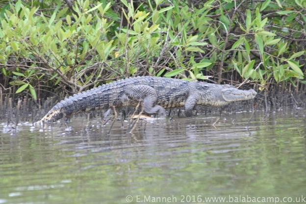A Gambian crocodile